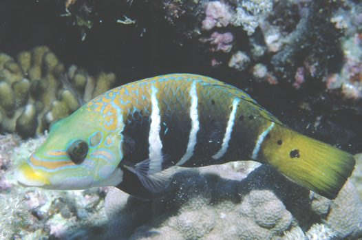 Fiveband Wrasse at Ribbon Reef