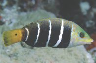 Fiveband Wrasse at Horseshoe Reef.