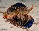 Purple Flying Gurnard in the Gold Coast Seaway