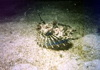 Purple Flying Gurnard at Watsons Bay