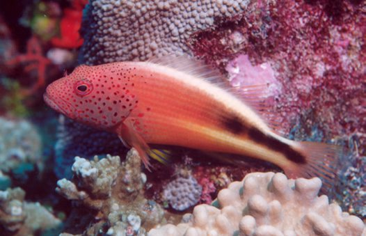 Freckled Hawkfish at Mana Island
