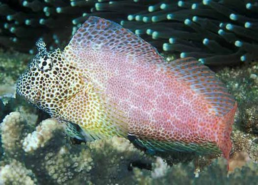 Leopard Blenny at North Solitary Island