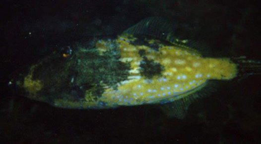 Bluelined Leatherjacket with 'fungus'
