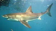 'Faye', a large female White Shark near the surface