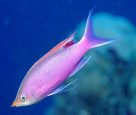 Purple Queen, <em>Pseudanthias tuka</em>