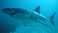 'Faye', a large female White Shark at the Neptune Islands
