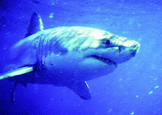 A White Shark at Dangerous Reef