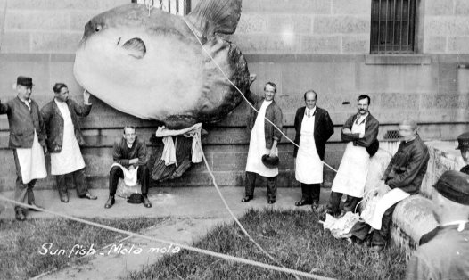 Sunfish, around 1910
