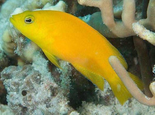 Dusky Dottyback, Pseudochromis fuscus
