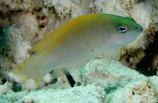 Dusky Dottyback at Ashmore Reef
