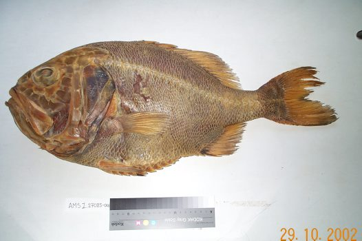 A Giant Sawbelly from the Fish Collection