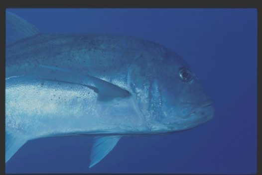 Giant Trevally at Rapid Horn