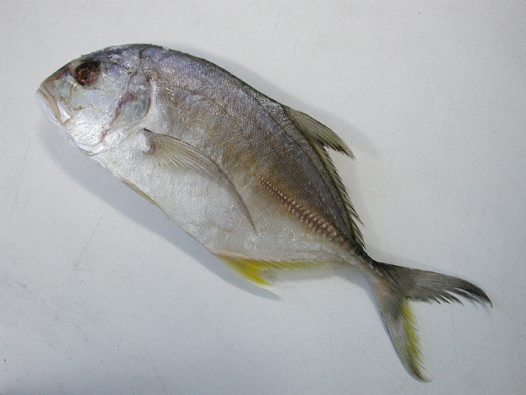 Giant Trevally purchased at Sydney fish market