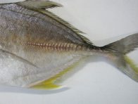 Giant Trevally: posterior region