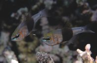 Girdled Cardinalfish at Davies Reef
