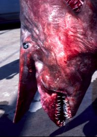 The head of a Goblin Shark - lateral view