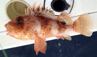 Incised Gurnard Perch