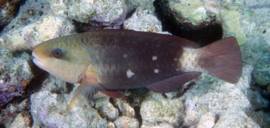 Greenfin Parrotfish - initial phase