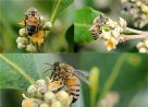 Exotic honeybees are the only effective pollinators of a temperate mangrove