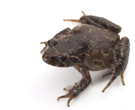 Female Botsford's Asian Leaf-litter Toad