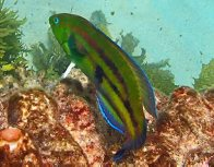 Senator Wrasse at Manly