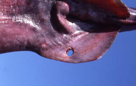 Cookiecutter Shark bite on a Goblin Shark