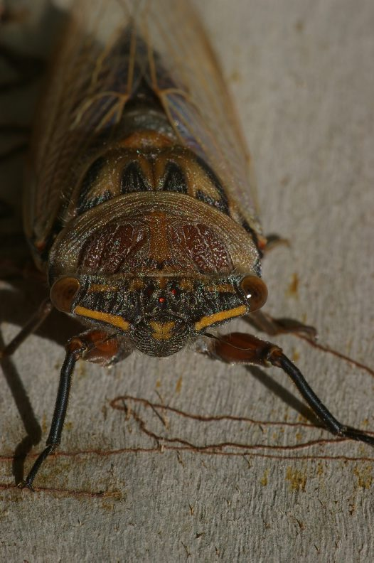 A Tricky Question About Cicadas #1