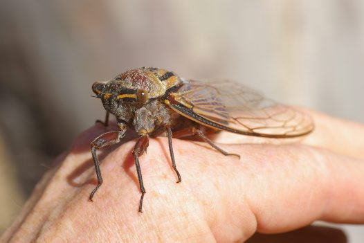 A Tricky Question About Cicadas #2