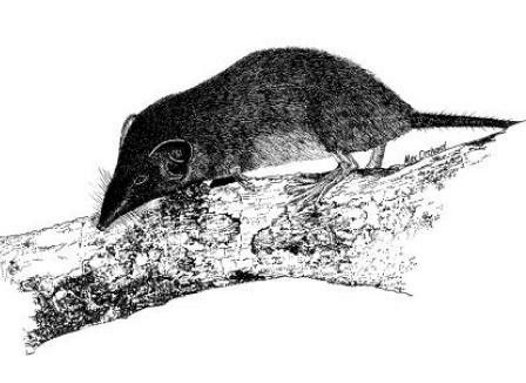 Christmas Island Shrew
