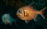 Southern Roughy, Trachichthys australis