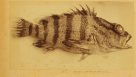 Blackbanded Seaperch, Hypoplectrodes annulatus