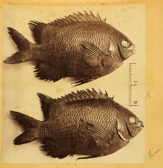 Fish specimens. Hyposypops microlepis