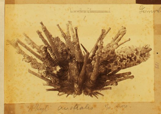 Coral. Phyllacanthus Australis Ramsay