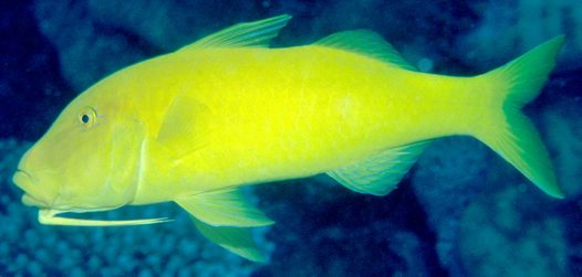 Goldsaddle Goatfish at the Cod Hole