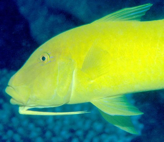 Goldsaddle Goatfish at the Cod Hole, Ribbon Reef