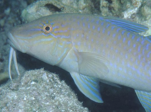 Goldsaddle Goatfish at Oro Province
