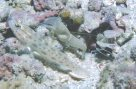 Goldspeckled Shrimpgoby and shrimps