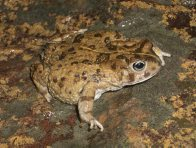Cape Sand Toad