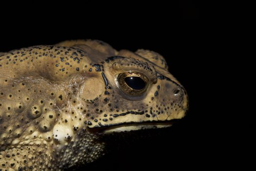 Black-spined Toad