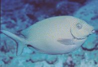 Spotted Rabbitfish at the Cod Hole