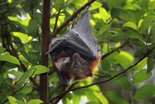 Grey-headed Flying-foxes