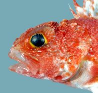 Head of Red Little Gurnard Perch
