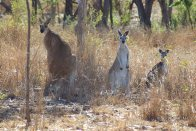 Antilopine Wallaroo family