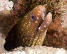 Lipspot Moray, Gymnothorax chilospilus