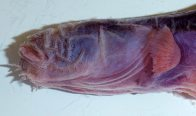 Purple Eelgoby - side of head