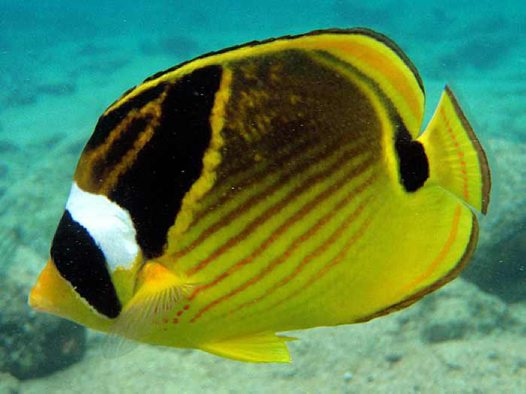 Racoon Butterflyfish at Kealakekua Bay
