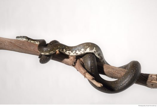 Diamond Python on a branch