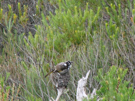 New Holland Honeyeater in heath