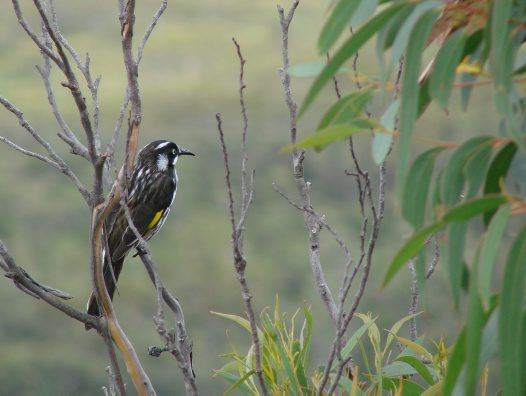 New Holland Honeyeater in tree