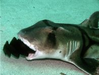 Port Jackson Shark with egg case